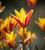 Tulip clusiana 'Tubergen's Gem'