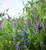 Tufted Vetch (Vicia cracca)