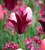 Tulip 'Sarah Raven' and 'Ballerina' Collection