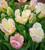 Tulip 'Weber's Parrot'