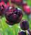 Venetian Reds Tulip Collection