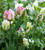 Ultra Perennial Tulip Collection