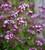 Wild Marjoram (Origanum vulgare)