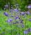 Wild Columbine (Aquilegia vulgaris)