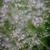 Gypsophila paniculata 'Single White'