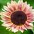 Helianthus annuus 'Ruby Eclipse' F1