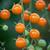 Tomato 'Honeycomb' F1