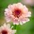 Zinnia elegans 'Zinderalla Lilac'