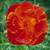 Eschscholzia californica 'Fire Bush'