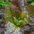 Lettuce 'Moonred'