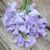 Sweet Pea 'Mammoth Lavender Blue'