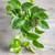 Epipremnum aureum (Devils's ivy)