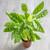 Goeppertia concinna (syn. Calathea leopardina)