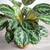 Goeppertia veitchiana 'Medaillon' (syn. Calathea roseopicta)