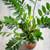 Zamioculcas zamiifolia (ZZ plant)