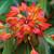 Euphorbia grifitthii 'Fireglow'