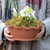 Potted Hellebore in a Scalloped Terracotta Bowl