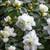 Rhododendron simsii (Azalea) 'White'