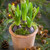 Potted Hyacinths in a Terracotta Pot