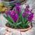 Potted Hyacinths in a Terracotta Bulb Bowl