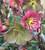 Helleborus x glandorfensis Gift Set