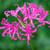 Nerine bowdenii 'Isabel' AGM