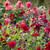 Perch Hill Dahlia Collection