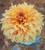 Bubblebath Dahlia Collection