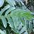 Melianthus major