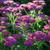 Achillea millefolium 'New Vintage Violet'