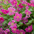 Clematis 'Abundance' (Viticella Group)