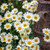 Anthemis tinctoria 'Sauce Hollandaise'