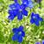 Delphinium grandiflorum 'Summer Nights' (Summer Series)