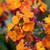 Erysimum 'Spring Breeze Copper'
