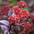 Hylotelephium telephium (Atropurpureum Group) 'Purple Emperor'
