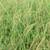 Molinia caerulea subsp. caerulea 'Moorhexe'