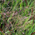 Panicum virgatum 'Squaw'