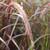 Pennisetum advena 'Rubrum'