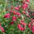 Penstemon Mexicali hybrids 'Carillo Red' (Carillo Series)