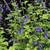 Salvia guaranitica 'Super Trouper'