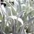 Senecio niveoaureus 'Silver Feathers'