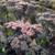 Hylotelephium 'Sapphire' (Mojave Jewels series)