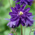 Aquilegia vulgaris var. stellata 'Blue Barlow'