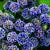 Aquilegia vulgaris 'Winky Double Dark-Blue-White'