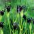 Iris chrysographes black-flowered