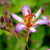 Tricyrtis 'Taipei Silk'