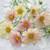 Cosmos bipinnatus 'Apricot Lemonade'
