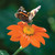 Mexican Sunflower and Her Sisters Collection