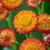 Xerochrysum bracteatum 'Orange' (syn. Helichrysum)