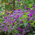 Heliotrope and Verbena Collection